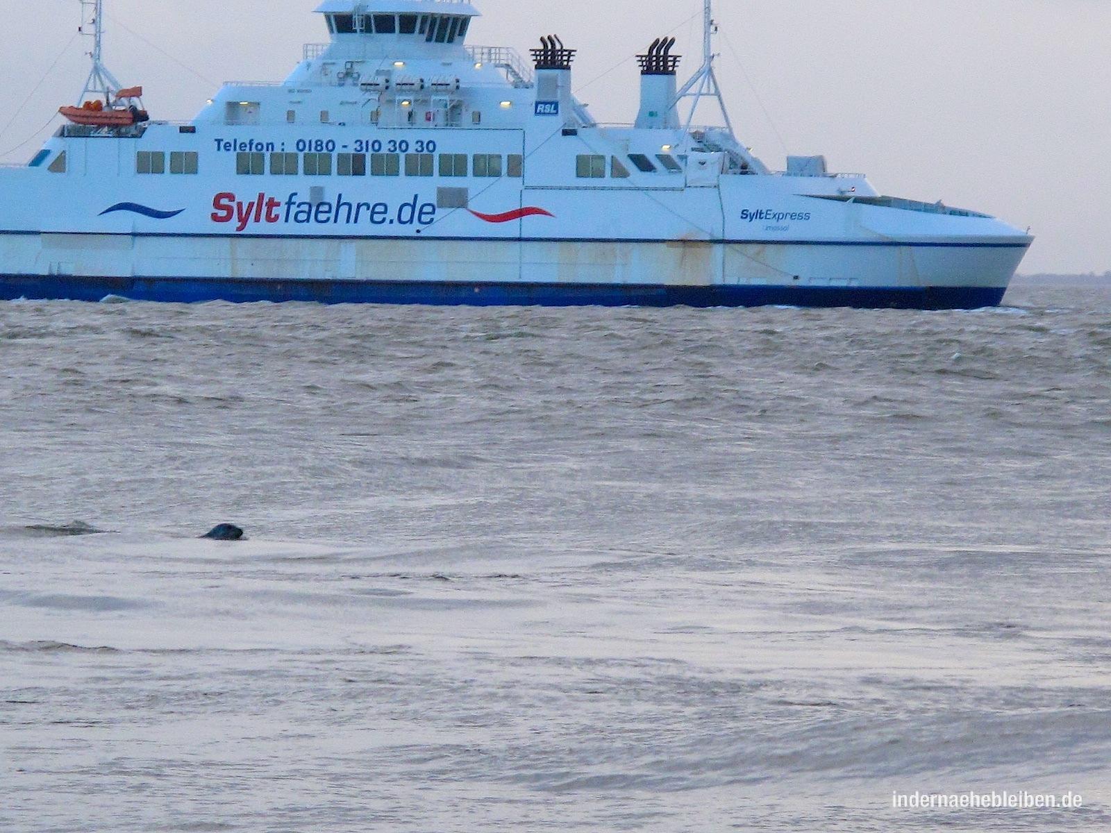 Seehund vor Syltfähre